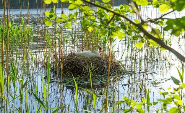 Weißer schwan im nest Premium Fotos
