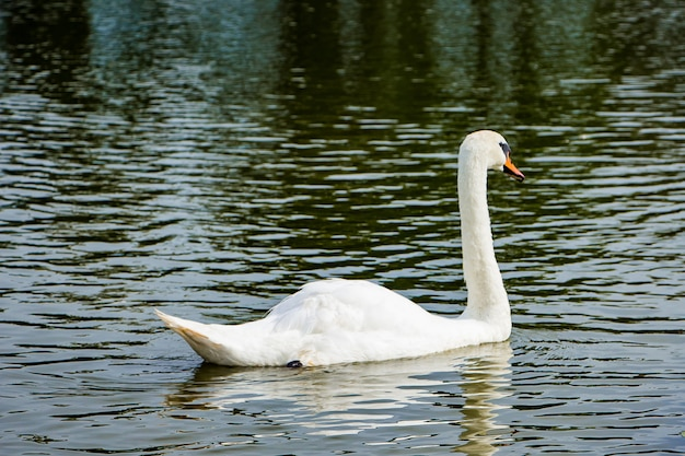 Weißer schwan schwimmt in einem teich in klarem wasser zwischen lotusblumen. Premium Fotos