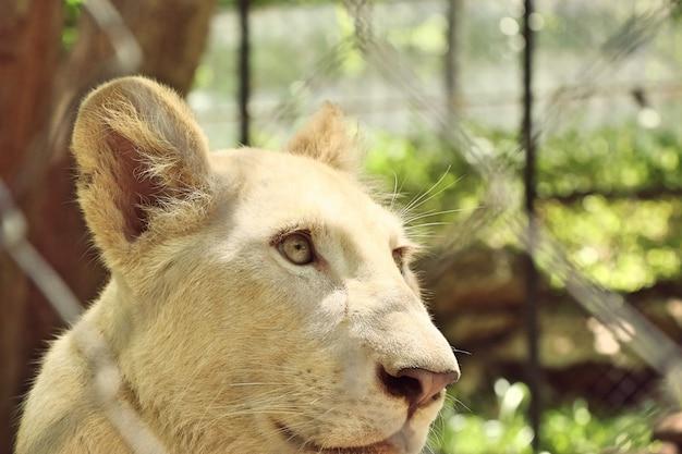 Weißer tiger im zoo Premium Fotos