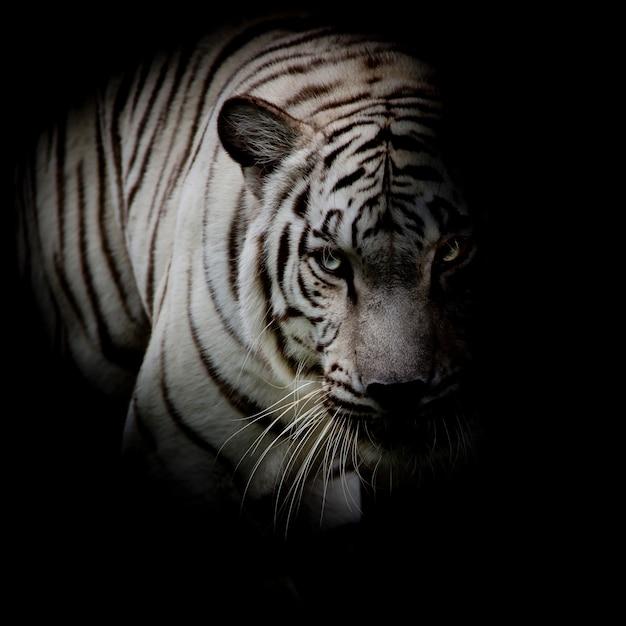 Weißer tiger lokalisiert auf schwarzem hintergrund Premium Fotos