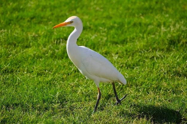 Weißer vogel ägyptens auf einer grünen wiese Premium Fotos
