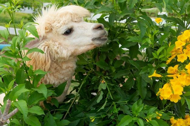 Weißes alpaka genießt es, ein blatt zu essen Premium Fotos