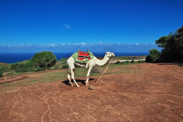 Weißes kamel auf mittelmeerküste in algerien, afrika Premium Fotos