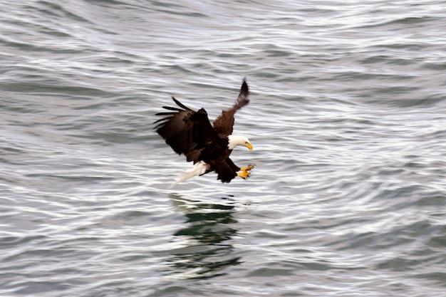 Weißkopfseeadler angeln Premium Fotos