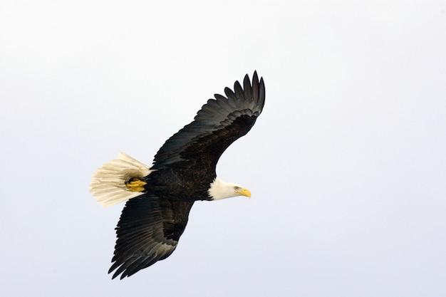 Weißkopfseeadler fliegen Premium Fotos