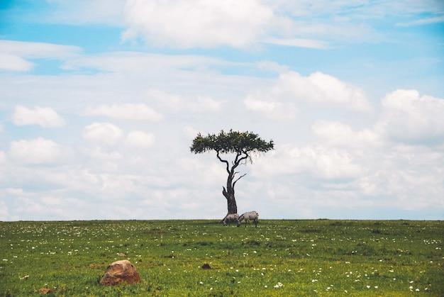 Weitwinkelaufnahme eines schönen isolierten einzelbaums in einer safari mit zwei zebras, die das gras in der nähe grasen Kostenlose Fotos