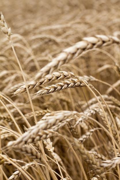 Weizenährchen in der feldnahaufnahme. Premium Fotos
