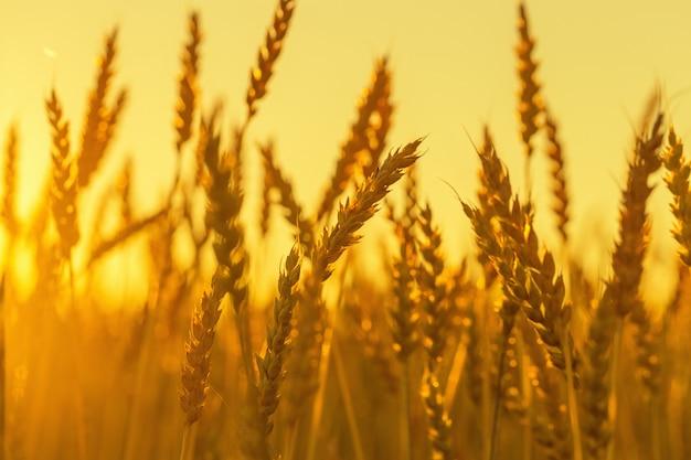 Weizenähren im sonnenuntergang Premium Fotos