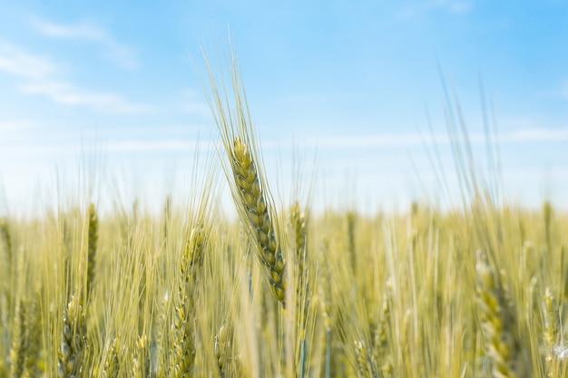 Weizenfeld im dorf Premium Fotos