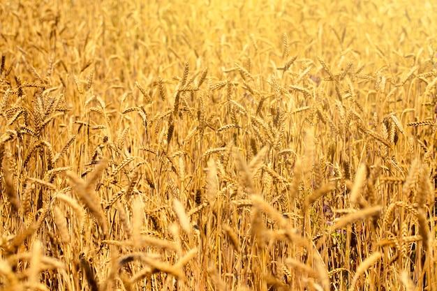 Weizenfeld im sommer nahe bei einem blauen himmel mit wolken an einem sonnigen tag. schöne natur Premium Fotos