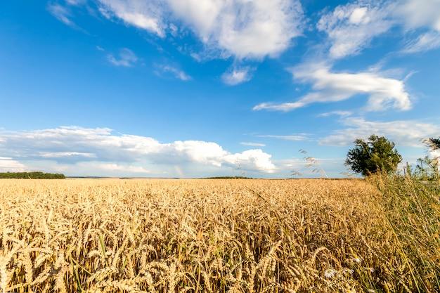 Weizenfeld mit blauem himmel mit sonne und wolken Premium Fotos