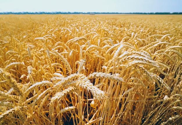 Weizenfeld mit den goldenen ohren gegen den blauen himmel. Premium Fotos