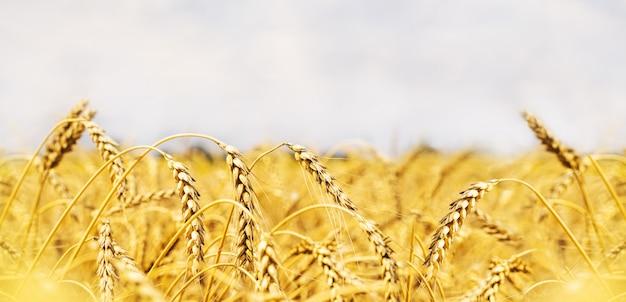 Weizenfeld. ohren des goldenen weizenabschlusses oben. wunderschöne natur sonnenuntergang landschaft. Premium Fotos