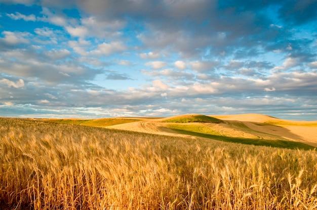 Weizenfelder unter einem drastischen himmel Premium Fotos