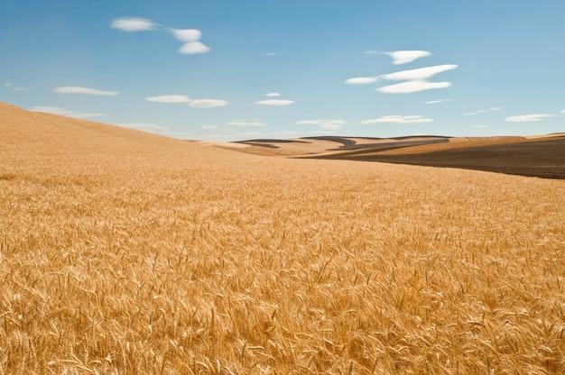 Weizenfelder Premium Fotos