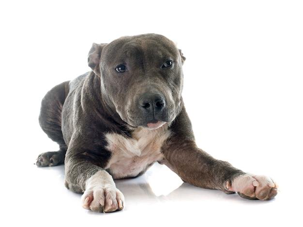Welpe american staffordshire terrier Premium Fotos
