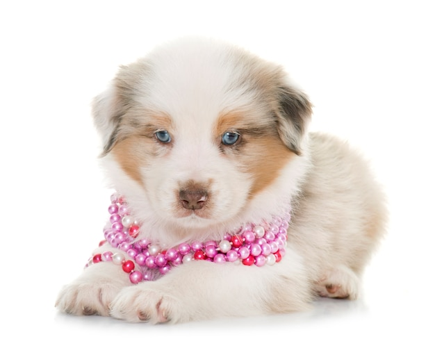 Welpe australischer schäferhund Premium Fotos