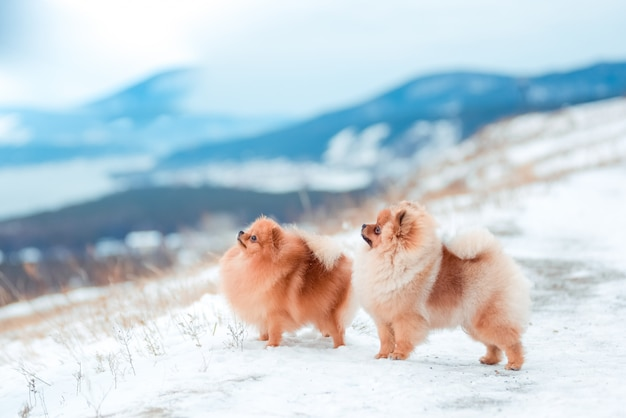 Welpe spitz in den bergen im winter Premium Fotos