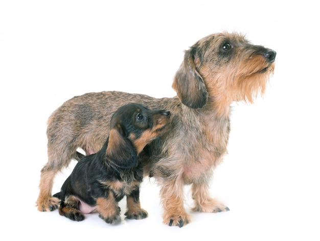 Welpe und mutter wire-haired dachshund Premium Fotos