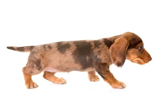Welpe wire-haired dachshund Premium Fotos