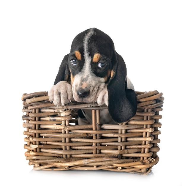 Welpen bernese schweizer laufhund Premium Fotos