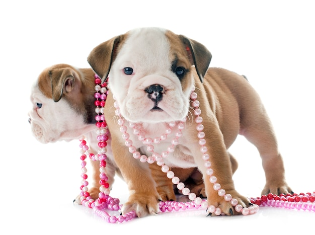 Welpen englische bulldogge Premium Fotos