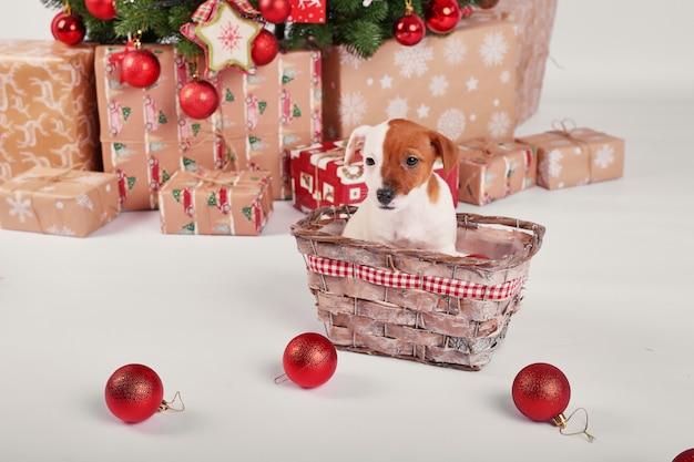 Welpen jack russell terrier im innenraum des neuen jahres Premium Fotos