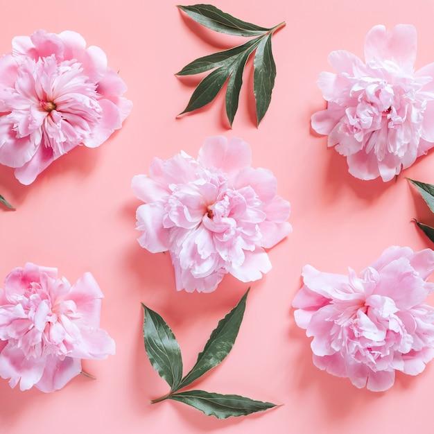 Wiederholtes muster von mehreren pfingstrosenblüten in voller blüte pastellrosa farbe und blätter, lokalisiert auf blassrosa hintergrund. flach liegen, draufsicht. platz Premium Fotos