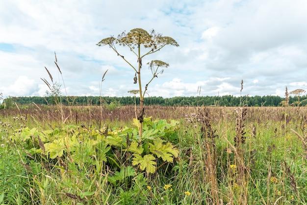 Wildblumen und unkraut wachsen auf plantagen oder vernachlässigten feldern. heracleum-grün, artenvielfalt in ländlichen gebieten und auf dem land. dorfvegetationsvielfalt, üppig grüne büsche und zweige über dem himmel. Premium Fotos