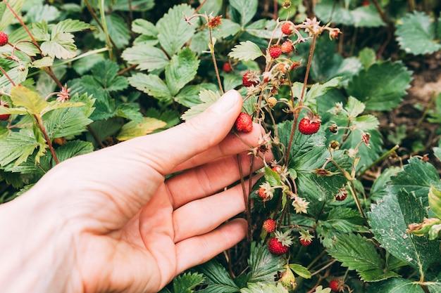 Wilde erdbeere der erntehandpflückensammlung Kostenlose Fotos