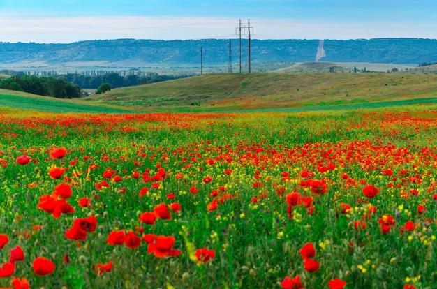 Wilde felder der roten mohnblumen in krim Premium Fotos