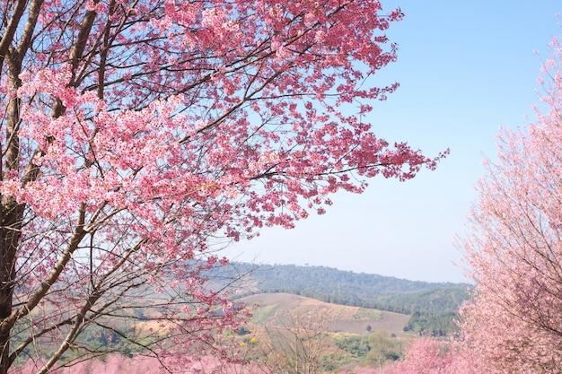 Wilde himalajakirschblüten im frühjahr Premium Fotos