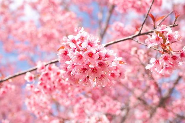 Wilde himalajakirsche blüht im frühjahr jahreszeit, rosa kirschblüte-blume für hintergrund Premium Fotos