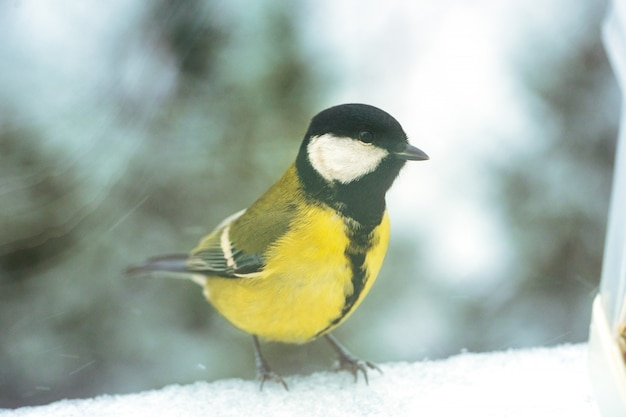 Wilde meise sitzt auf einem fensterbrett in der winternahaufnahme. Premium Fotos