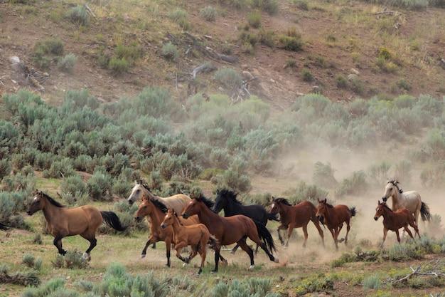 Wilde pferde utah roundup Premium Fotos