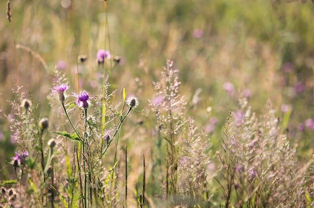 Wilde purpurrote blumen im sonnenunterganglicht Premium Fotos