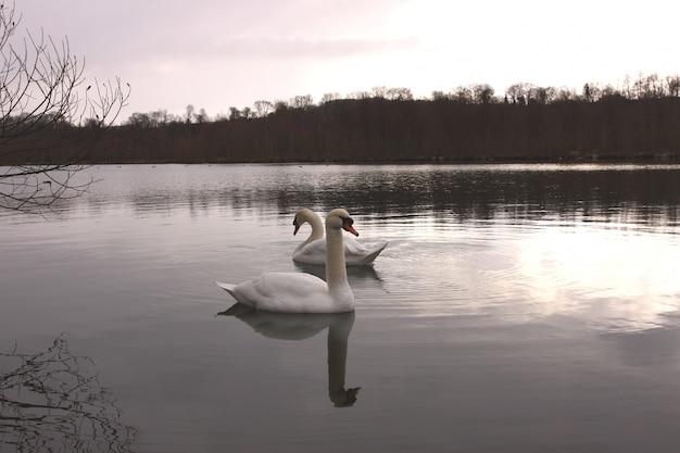 Wilder schwanstummer auf seinem see in frankreich. Premium Fotos