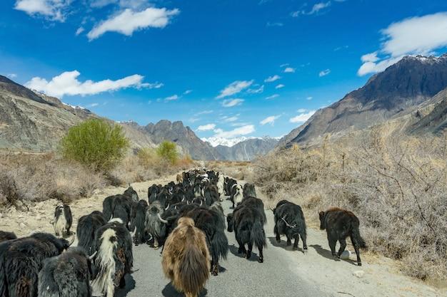 Wildes gehendes yak die straße auf dem weg zur berglandschaft in leh, indien. Premium Fotos