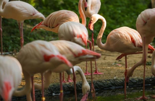 Wildlife animal, flamingos sind eine art watvögel, flieger. flamingos stehen normalerweise auf Premium Fotos