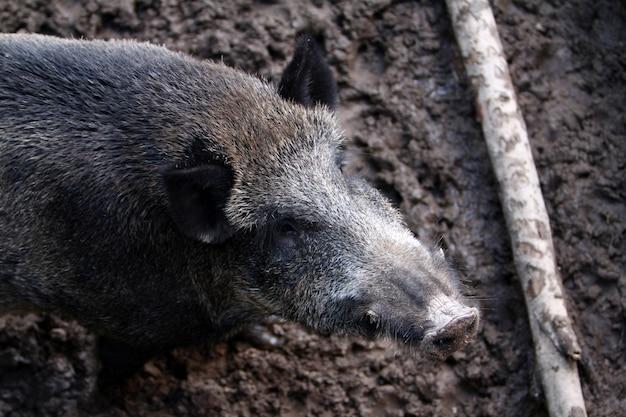 Wildschwein Kostenlose Fotos