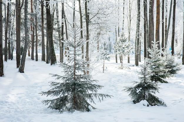 Winter hell mit tannen im frost. schneebedeckte tannen. Premium Fotos