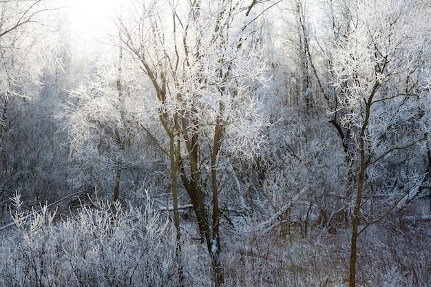Winterlandschaft mit laubbäumen, die von hinten von sonnenlicht beleuchtet werden, zweige von pflanzen, die nach frost mit weißem frost bedeckt sind Premium Fotos