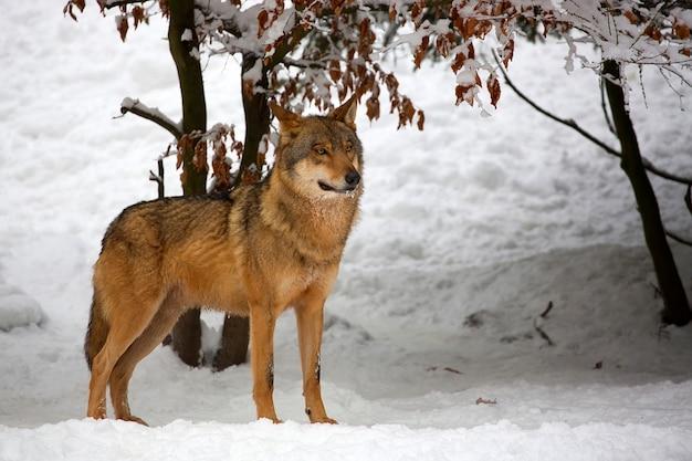 Wolf im winter | Download der Premium Fotos
