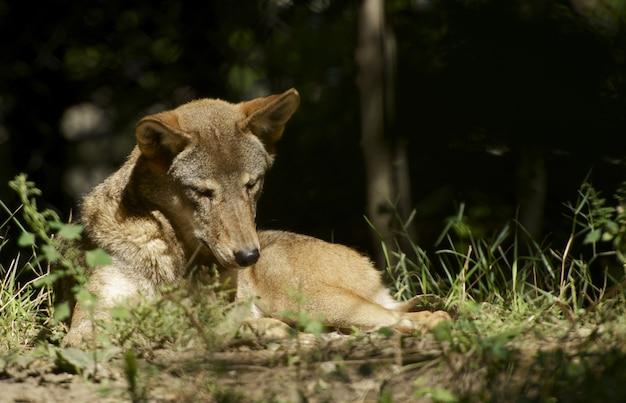 Wolf in der sonne Kostenlose Fotos