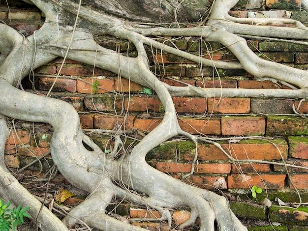 Wurzelbaum Deckte Schmutzige Alte Backsteinmauer Mit Dem Befestigten