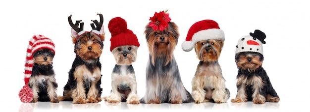Yorkshire-terrier, die verschiedene weihnachtshüte tragen Premium Fotos