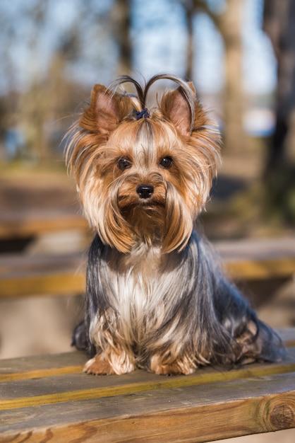 Yorkshire terrier hund sitzt nahaufnahme auf natur Premium Fotos