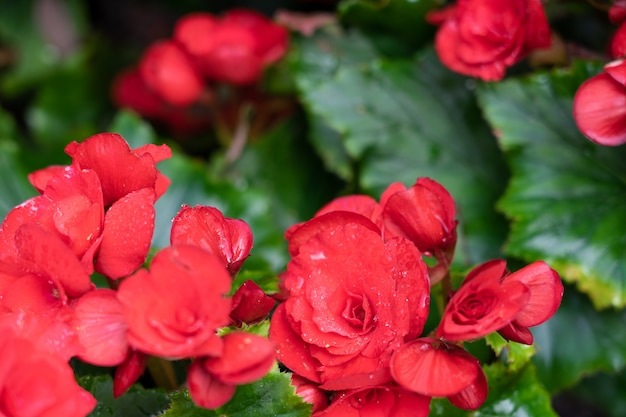 Zahlreiche helle blüten von knollenartigen begonien Premium Fotos