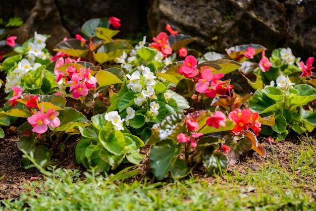 Zahlreiche helle blüten von knollenbegonien (begonia tuberhybrida) im garten Premium Fotos