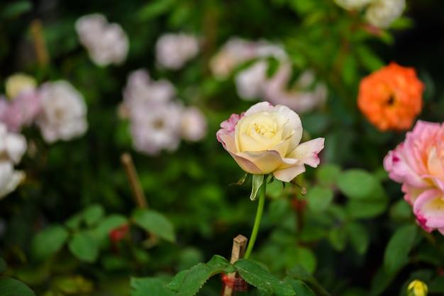 Zarte rose im garten Premium Fotos